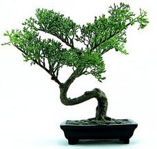 Bonsai-puu maksaa 1,3 miljoonaa euroa